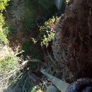כריתת עץ דקל קנרי נגוע בחדקנית הדקל