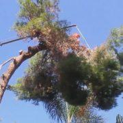 גיזום עץ אורן שהחל לקרוס