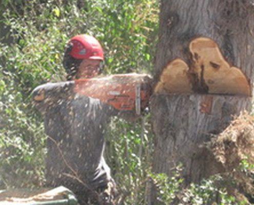כריתת עץ ללא נזקים עם  שי לעץ