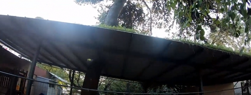 כריתת עץ אורן מסוכן מעל מבנה - שי לעץ